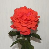 花瓶の中の薔薇