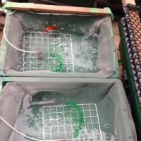 5039池 遅咲きの産卵