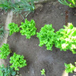 庭でイチゴとサンチュが良く出来ました
