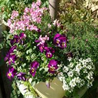 3日連続、我が家の花