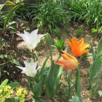 庭と鉢植えのチューリップ