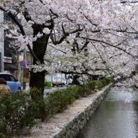 【桜巡りの旅】 木屋町通り(高瀬川沿い)