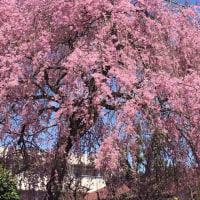 桜のピンクに癒されます