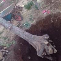 柿の木、ついに倒れました。どうもありがとうございました。