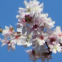 秋空の花見 ジュウガツザクラ 宮代町の散歩道