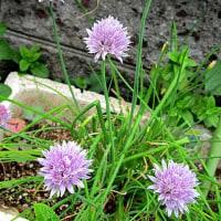 チャイブという花