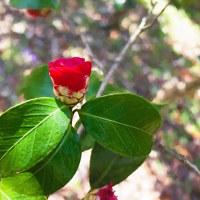 2017.03.24 横浜市 こどもの国 椿の森: 赤と緑が鮮やかなやぶ椿