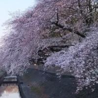 桜、咲きました!!