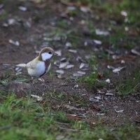 岡崎公園の白いシジュウカラ その67