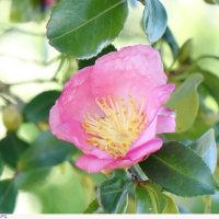 サザンカ 〈ピンクの一重咲〉