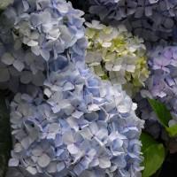 【R7】紫陽花あじさいアジサイ