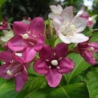 季節の花「箱根空木 (はこねうつぎ)」
