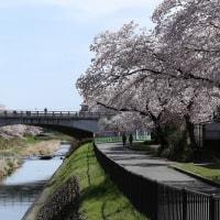2017/04/12 八王子市浅川は春爛漫