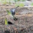 今日の鳥 アオバト 海水を飲みに来る。
