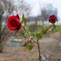 勇気をくれる冬薔薇