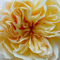 No.3773  冬の薔薇