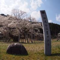 桜と樽見鉄道 2017 番外編 薄墨桜と能郷白山