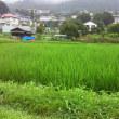 稲もスクスク育っています。