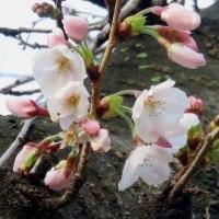 桜(よしの)10度Cの陽気に開花・17・3月30日