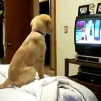 ★動画 犬がテレビを見て段々興奮していく動画♪