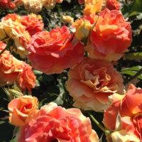 薔薇を見に行きました