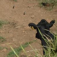 子連れのズグロトカゲリ(頭黒鶏冠鳧)