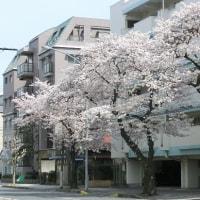 2017桜 (その三) 横浜 必塗マン
