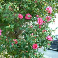 寒椿 県営住宅地の植木