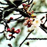 ♪ 京都もようやく開花宣言! ♪ いよいよ春本番で~す!