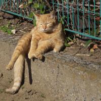 ラッコ泳ぎのキンクロハジロ*ホシハジロ*だれネコ