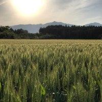 麦畑からの足尾山