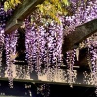 新屋敷公園の藤の花