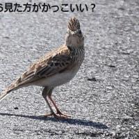 ヒバリの冠羽