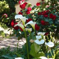 薔薇の剪定
