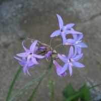 瑠璃二文字とオオシオカラ蜻蛉(雌)