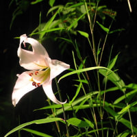 近くの湿地にカキランが咲き始めています