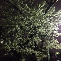 夜の桜パトロール