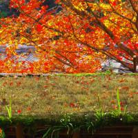 京都高尾の紅葉