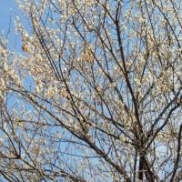 まだ白梅の花がきれいです。