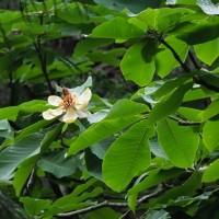 サンコウチョウなど 宮が瀬のスギ林 2017年5月