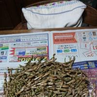 採れました❗土筆いっぱい