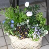 マーガレットマルコロッシと助けたお花で春の寄せ植え