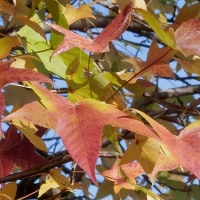 キセキレイ 楓 鳥インフルエンザ  食の安全