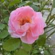 薔薇 つい先だってまで咲いていました