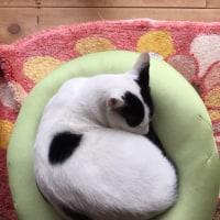 くーさん、丸くなって眠る