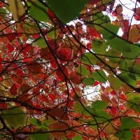 ベニマンサクの紅葉がはじまった、2016