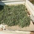 ヨモギの収穫