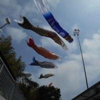春風にそよぐ鯉のぼり、相当しなってますわ!