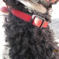 迷子犬(黒いトイプー)