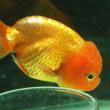 金魚 アンモニア中毒